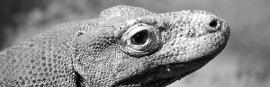 Komodo Dragon Thumbnail